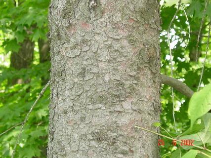 white spruce bark